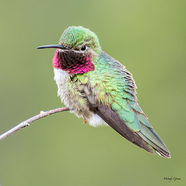 Woody's Wildlife, Nature and Other Stuff 2019-hummer-400.jpg