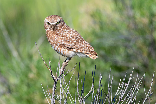 Woody's Wildlife, Nature and Other Stuff 2019-burrowingowl-440.jpg