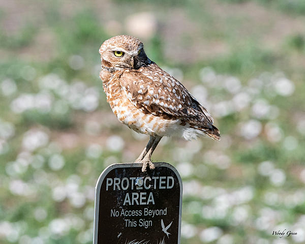 Woody's Wildlife, Nature and Other Stuff 2019-burrowingowl-441.jpg