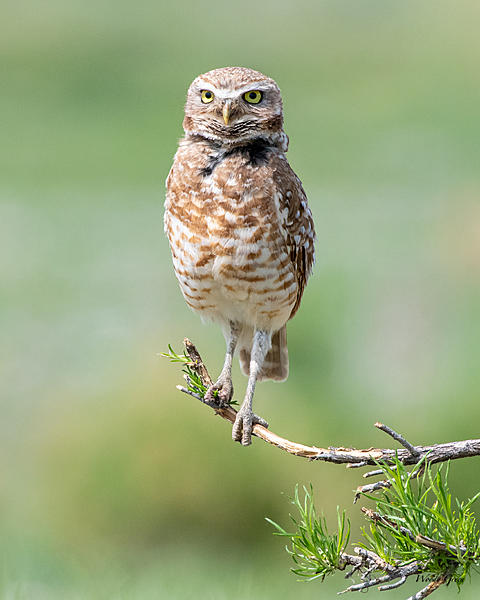 Woody's Wildlife, Nature and Other Stuff 2019-burrowingowl-442.jpg