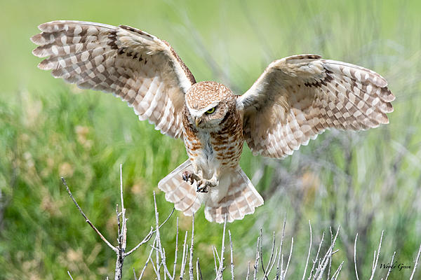 Woody's Wildlife, Nature and Other Stuff 2019-burrowingowl-443.jpg