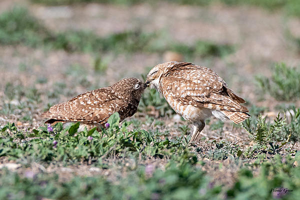 Woody's Wildlife, Nature and Other Stuff 2019-burrowingowl-444.jpg