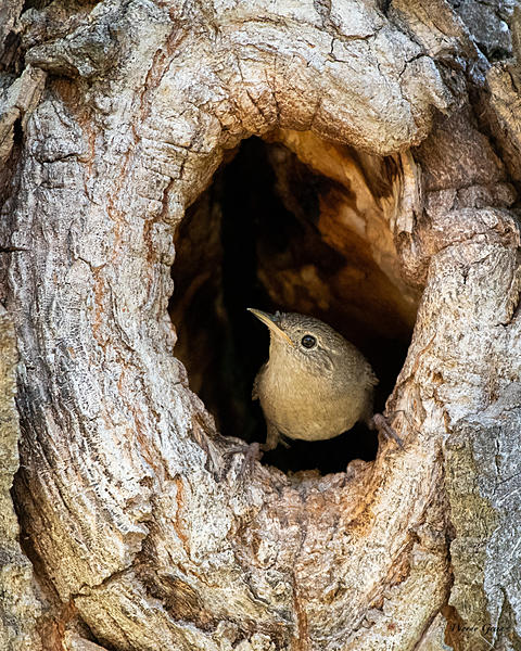 Woody's Wildlife, Nature and Other Stuff 2019-housewrennest-400.jpg
