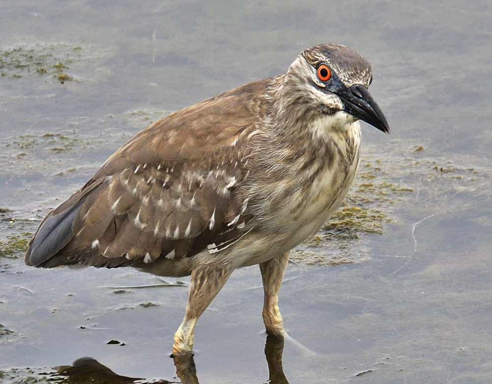 Yellow Crowned Night Heron having crab for lunch.-_roy6872.jpg