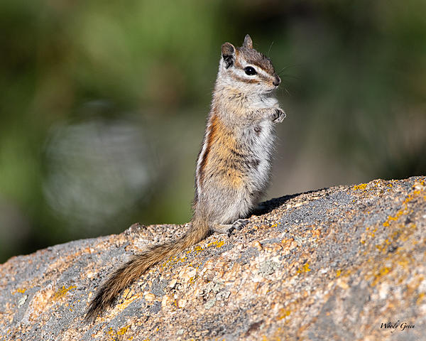 Woody's Wildlife, Nature and Other Stuff 2019-chipmunk-405.jpg
