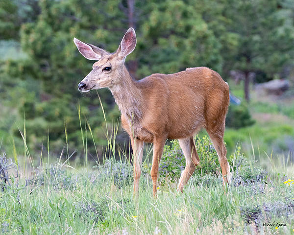 Woody's Wildlife, Nature and Other Stuff 2019-deer-415.jpg