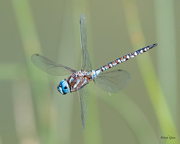 Woody's Wildlife, Nature and Other Stuff 2019-dragonfly-401.jpg