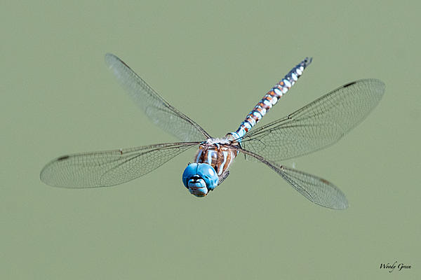 Woody's Wildlife, Nature and Other Stuff 2019-dragonfly-402.jpg