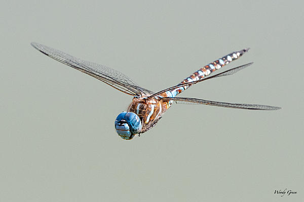 Woody's Wildlife, Nature and Other Stuff 2019-dragonfly-403.jpg