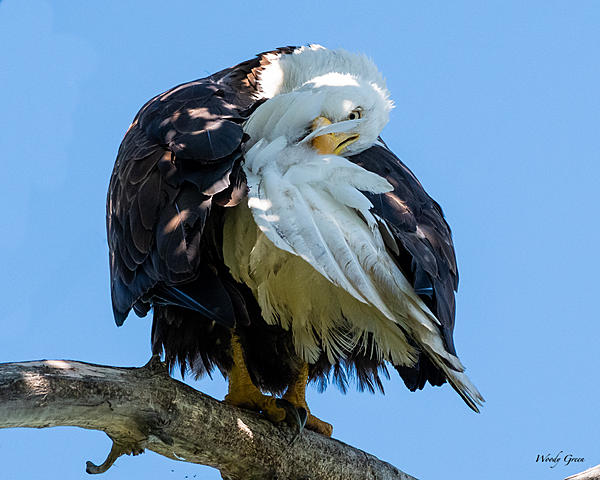 Woody's Wildlife, Nature and Other Stuff 2019-eaglepreening-400.jpg