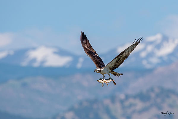 Woody's Wildlife, Nature and Other Stuff 2019-ospreycatch-401.jpg