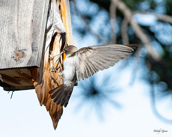 Woody's Wildlife, Nature and Other Stuff 2019-swallowsbirdhouse-400.jpg