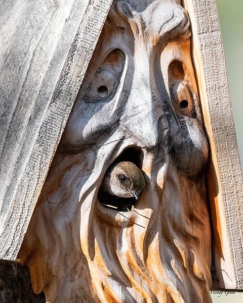 Woody's Wildlife, Nature and Other Stuff 2019-swallowsbirdhouse-401.jpg