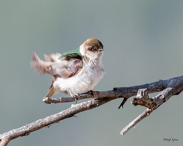 Woody's Wildlife, Nature and Other Stuff 2019-violetgreenswallow-410.jpg