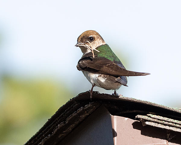 Woody's Wildlife, Nature and Other Stuff 2019-violetgreenswallow-415.jpg
