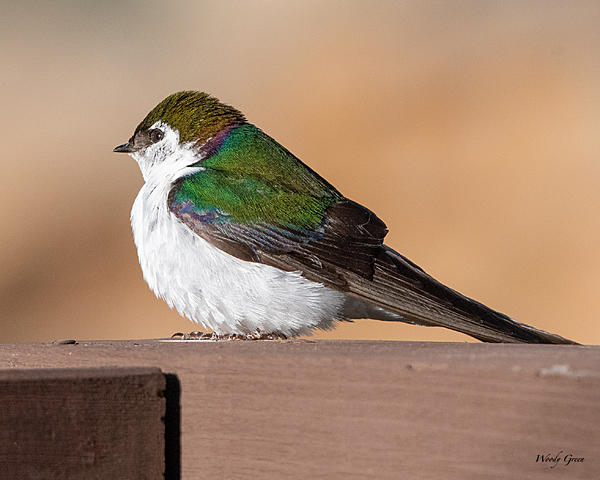 Woody's Wildlife, Nature and Other Stuff 2019-violetgreenswallow-418.jpg