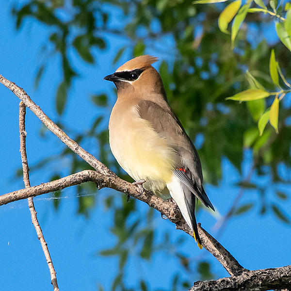 Woody's Wildlife, Nature and Other Stuff 2019-cedarwaxwing-401.jpg