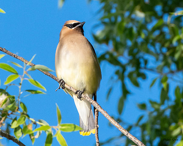 Woody's Wildlife, Nature and Other Stuff 2019-cedarwaxwing-402.jpg
