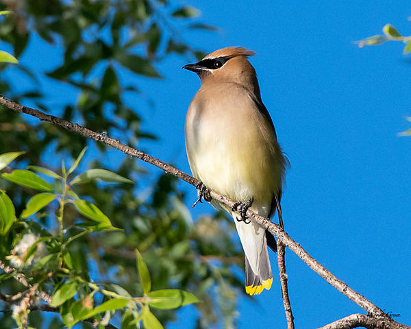 Woody's Wildlife, Nature and Other Stuff 2019-cedarwaxwing-403.jpg