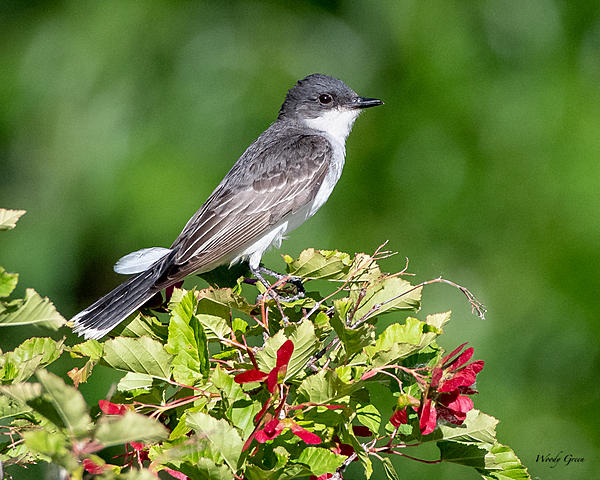 Woody's Wildlife, Nature and Other Stuff 2019-easternkingbird-410.jpg