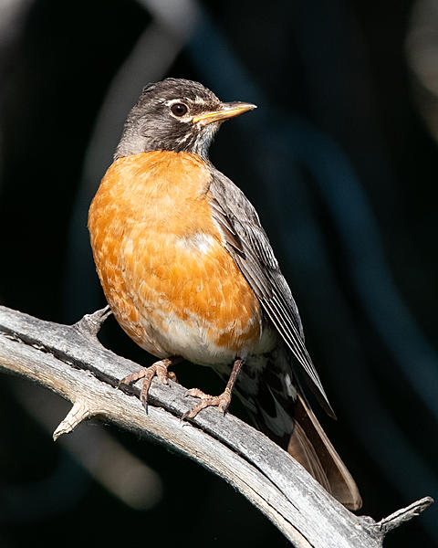 Woody's Wildlife, Nature and Other Stuff 2019-robin-415.jpg