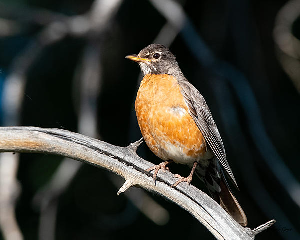 Woody's Wildlife, Nature and Other Stuff 2019-robin-416.jpg