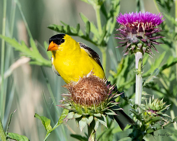 Woody's Wildlife, Nature and Other Stuff 2019-goldfinch-421.jpg