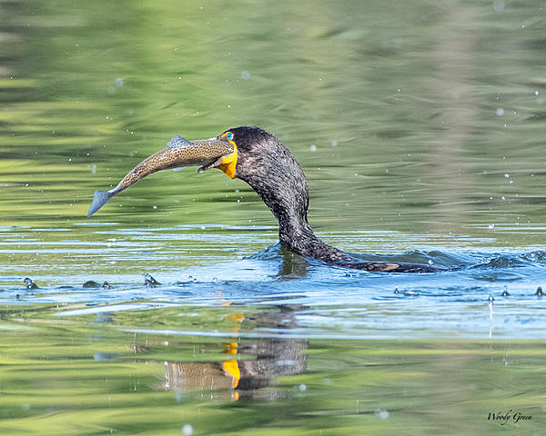 Woody's Wildlife, Nature and Other Stuff 2019-cormorantswallow-400.jpg