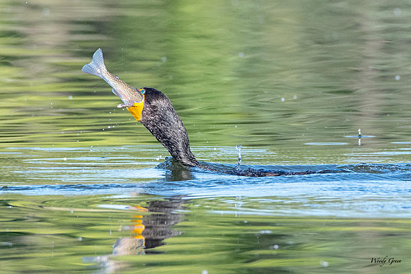 Woody's Wildlife, Nature and Other Stuff 2019-cormorantswallow-402.jpg