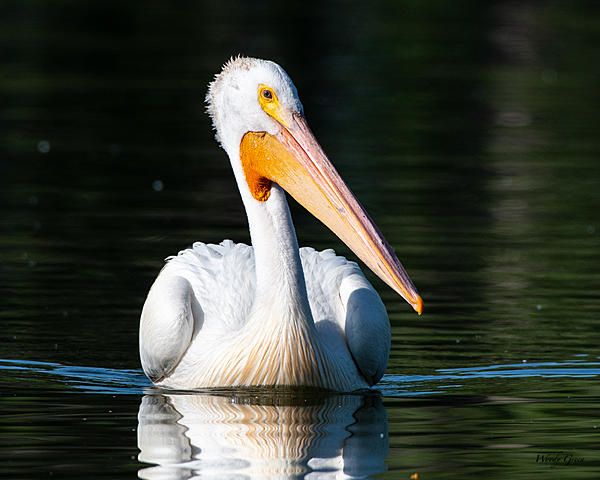 Woody's Wildlife, Nature and Other Stuff 2019-pelican-420.jpg