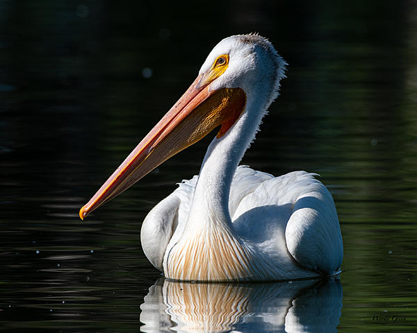 Woody's Wildlife, Nature and Other Stuff 2019-pelican-422.jpg