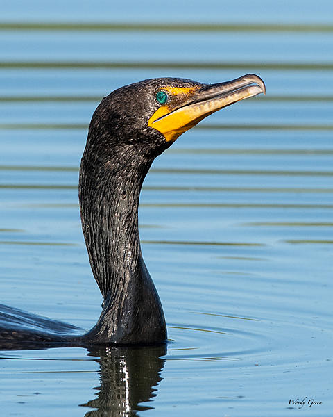 Woody's Wildlife, Nature and Other Stuff 2019-cormorant-472.jpg