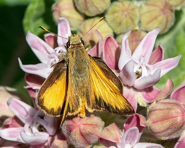 Woody's Wildlife, Nature and Other Stuff 2019-skipper-470.jpg