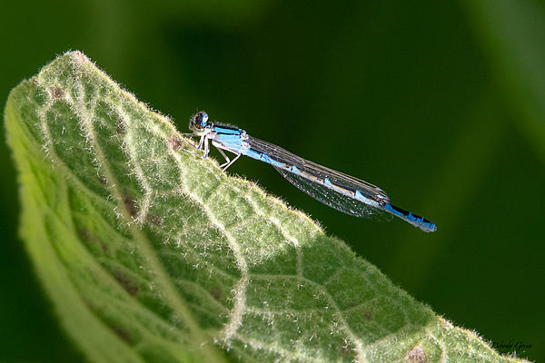 Woody's Wildlife, Nature and Other Stuff 2019-damselfly-406.jpg