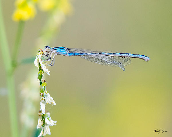 Woody's Wildlife, Nature and Other Stuff 2019-damselfly-415.jpg