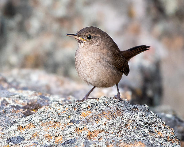 Woody's Wildlife, Nature and Other Stuff 2019-housewren-420.jpg