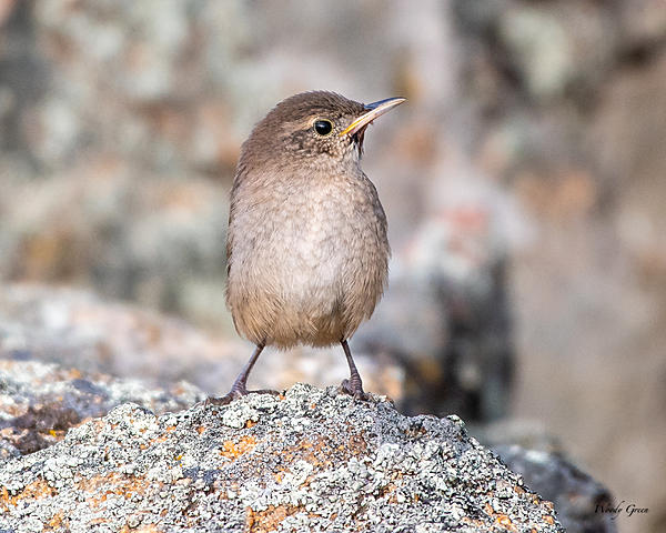 Woody's Wildlife, Nature and Other Stuff 2019-housewren-421.jpg