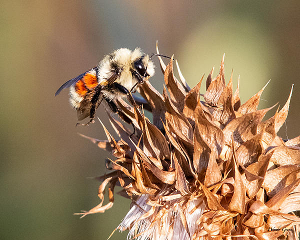 Woody's Wildlife, Nature and Other Stuff 2019-bumblebee-400.jpg
