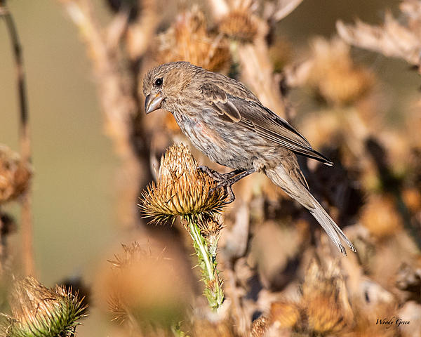 Woody's Wildlife, Nature and Other Stuff 2019-housefinch-466.jpg
