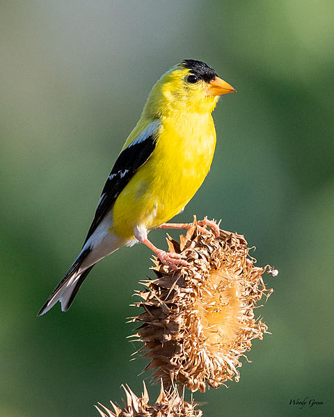 Woody's Wildlife, Nature and Other Stuff 2019-goldfinch-465.jpg