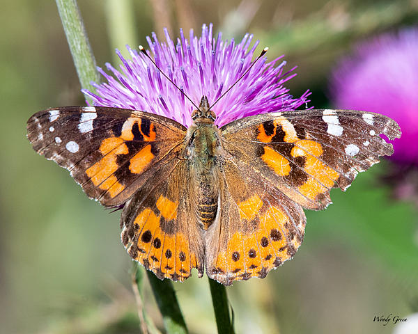 Woody's Wildlife, Nature and Other Stuff 2019-paintedlady-400.jpg