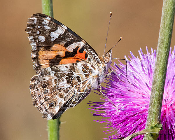 Woody's Wildlife, Nature and Other Stuff 2019-paintedlady-401.jpg