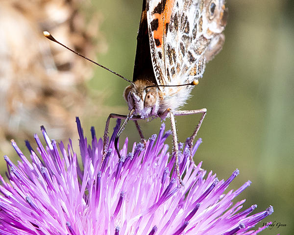 Woody's Wildlife, Nature and Other Stuff 2019-paintedlady-402.jpg
