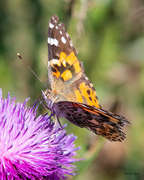 Woody's Wildlife, Nature and Other Stuff 2019-paintedlady-403.jpg