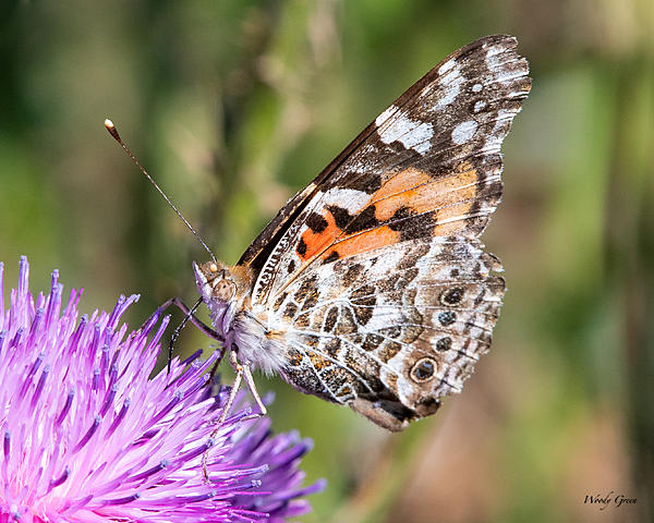 Woody's Wildlife, Nature and Other Stuff 2019-paintedlady-404.jpg