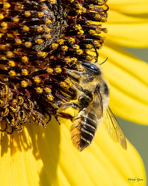 Woody's Wildlife, Nature and Other Stuff 2019-bee-475.jpg