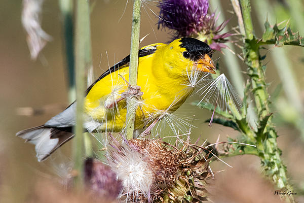Woody's Wildlife, Nature and Other Stuff 2019-goldfinch-476.jpg