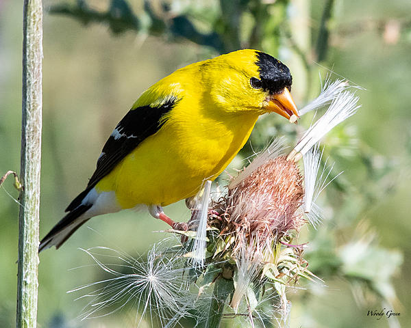 Woody's Wildlife, Nature and Other Stuff 2019-goldfinch-478.jpg
