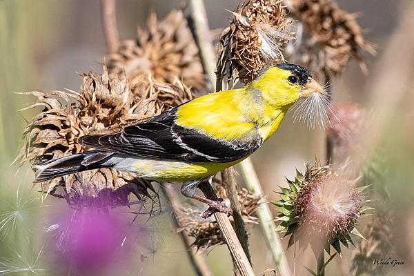 Woody's Wildlife, Nature and Other Stuff 2019-goldfinch-480.jpg
