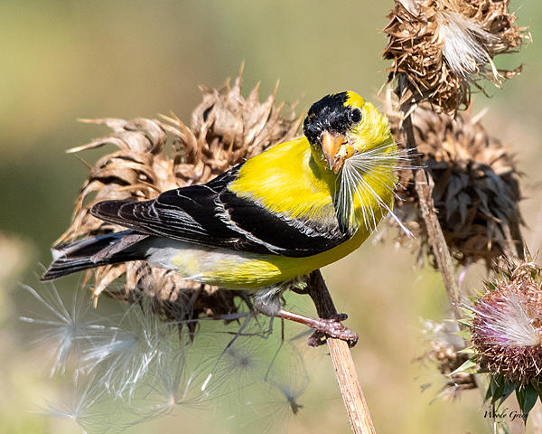 Woody's Wildlife, Nature and Other Stuff 2019-goldfinch-481.jpg